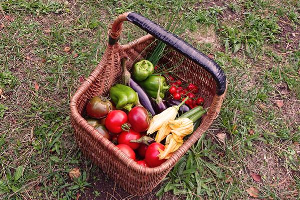 Récolte du potager